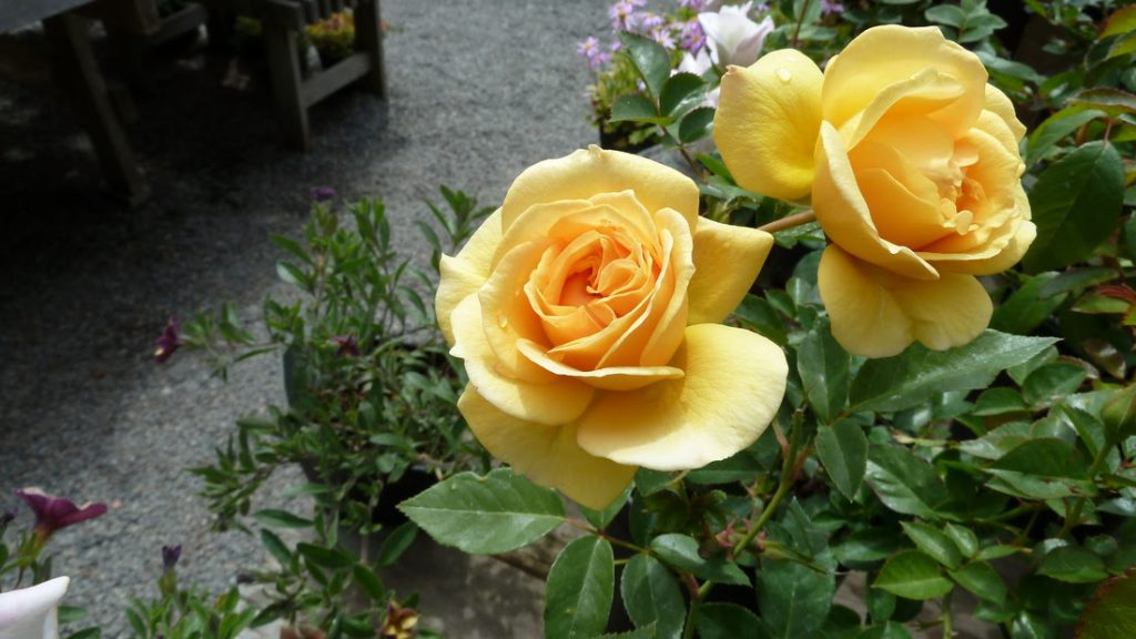For Love of a Rose Yellow
